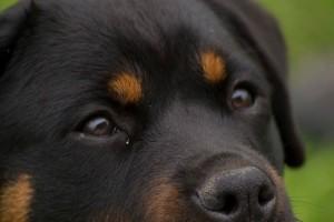 Rottweiler di allevamento per un pelo