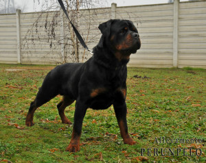 Rottweiler Kaos di allevamento Per un pelo