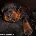 rottweiler cuccioli 3