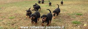 rottweiler cuccioli larga