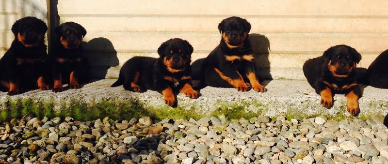 Cuccioli Rottweiler Torino