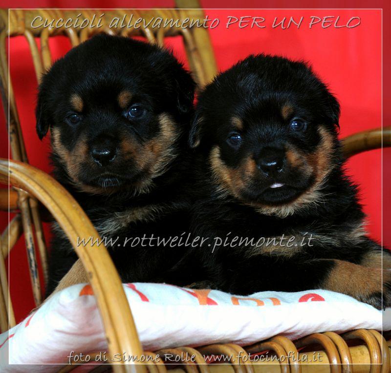 Cuccioli Rottweiler Vendita Torino Piemonte Allevamento